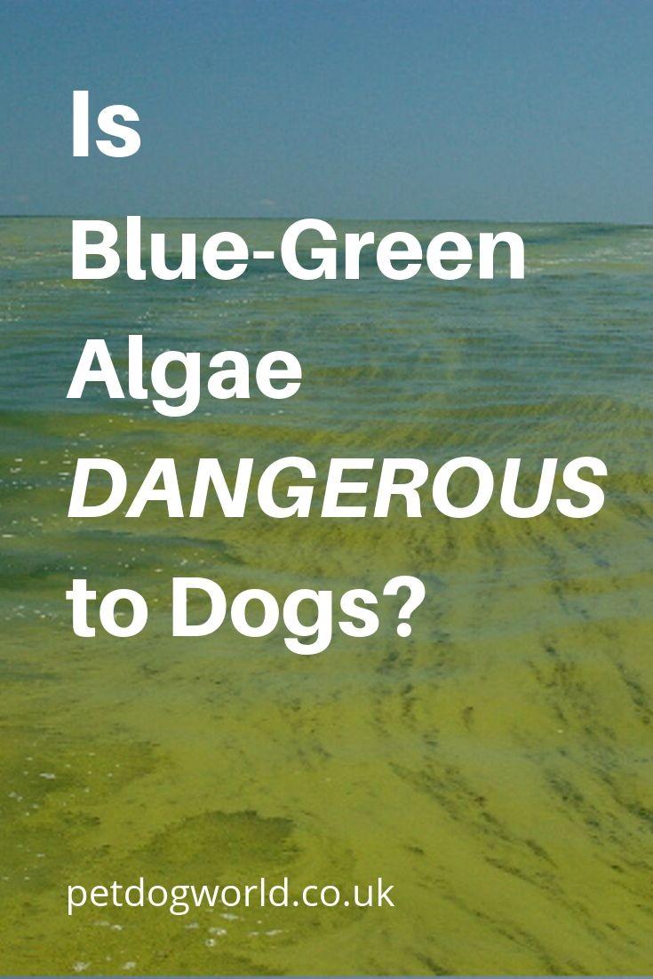 Is blue-green algae dangerous to dogs?