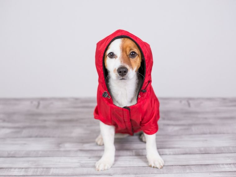Dog wearing coat with hood