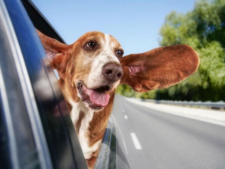 Are Basset Hounds Good Pets?