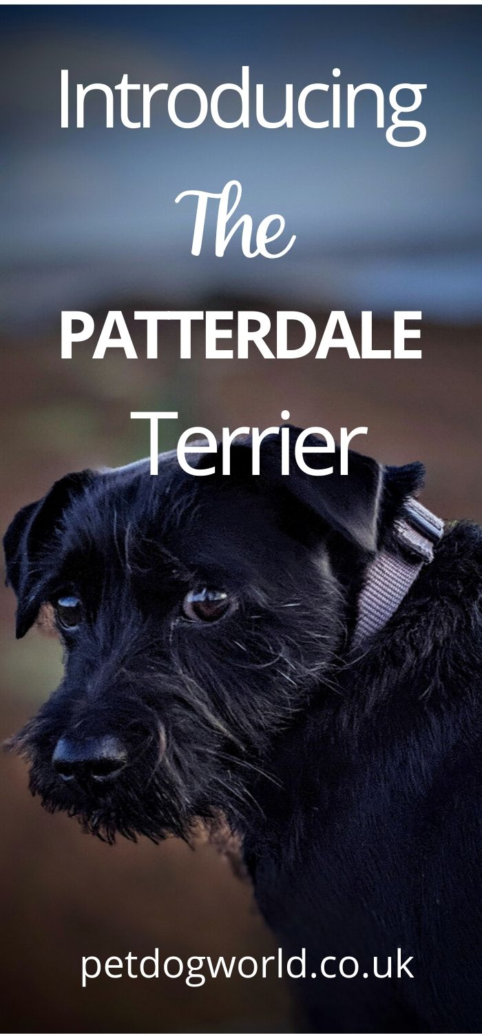 Let's take a look at the breed and consider whether a Patterdale Terrier is the right dog for you