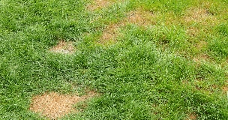Will dog pee kill grass?