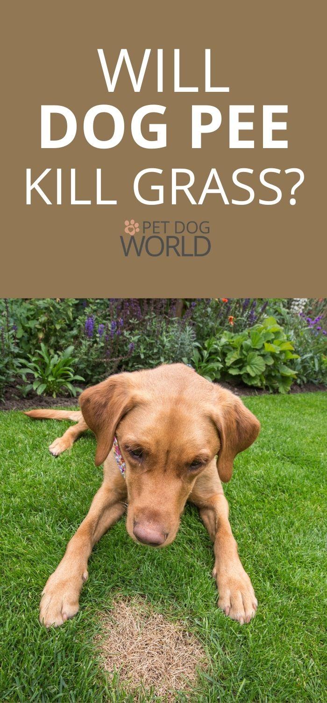Will dog pee kill grass?