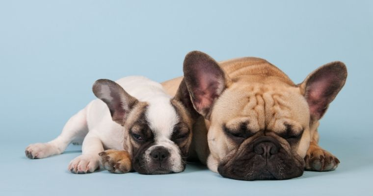 Why do French Bulldogs Snore?