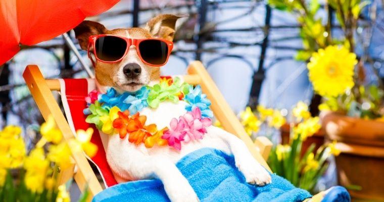 Jack Russell Terrier wearing sunglasses, sat in a deckchair