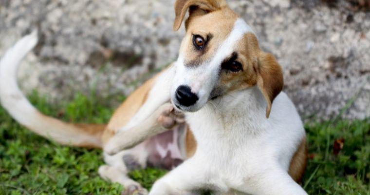 Dog scratching at a flea